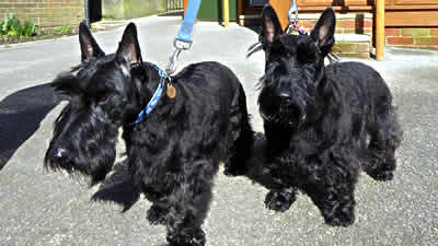 Scotties-2-after-trim